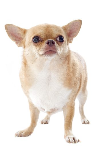 obese purebread fawn and white chihuahua on white background