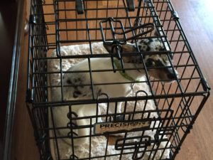 a picture of a blue and white merle chihuahua in a wire crate, looking pretty sad