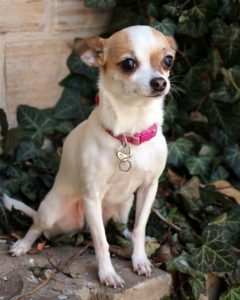 a picture of a fawn and white chihuahua with a pink collar and with ears laid back