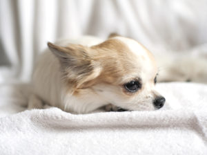picture of a fawn and white chihuahua that looks sad, may have cancer