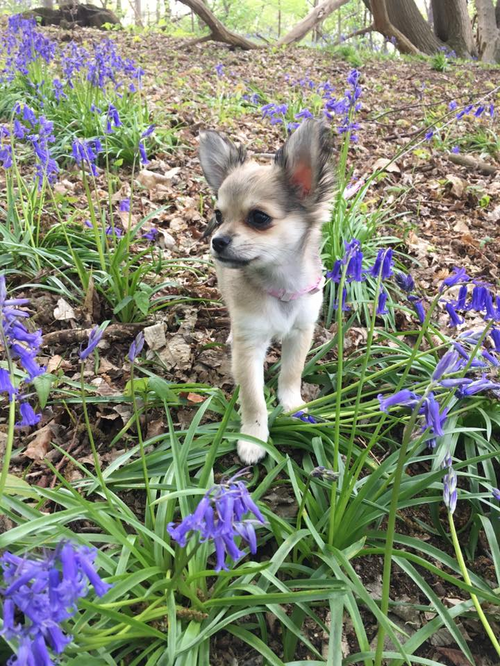 This adorable little Chi is Bella, and she belongs to Dawn Jenkins. This is what Bella's mom said:Bella is a PomChi and is coming up for 6 months old. She is affectionate, comical and loving and is my beautiful fur baby