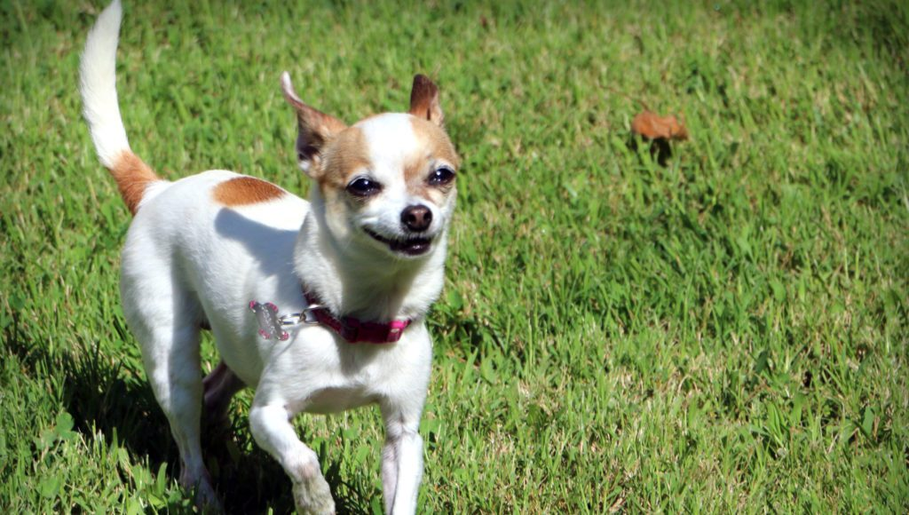 Good Health & Good Nutrition = Happy Chihuahua!