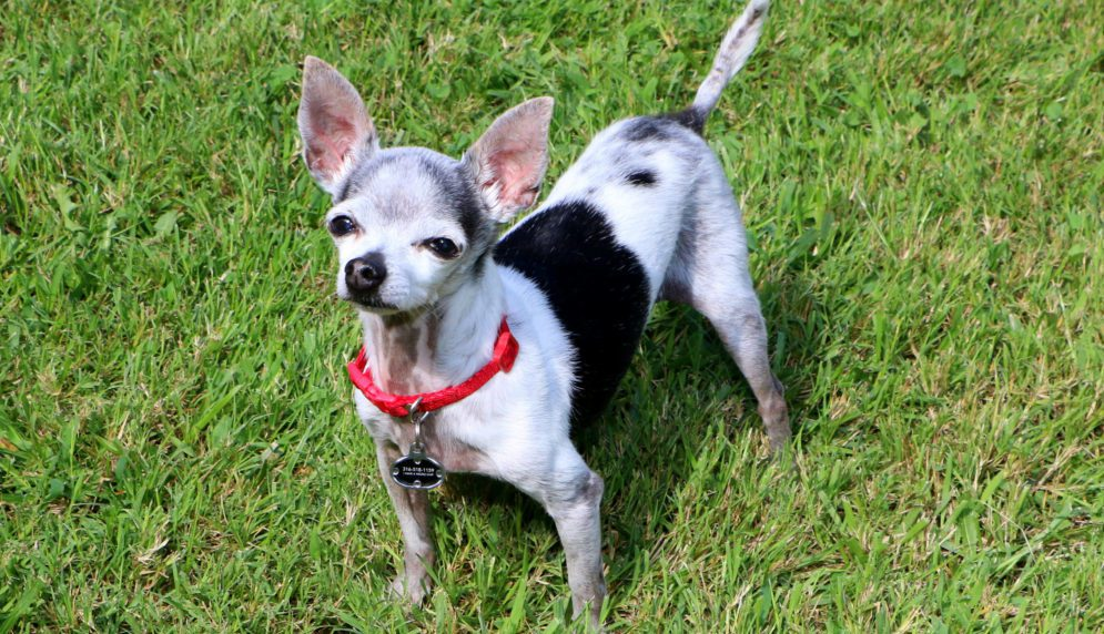 an older black and white chihuahua looking at camera standing on green grass