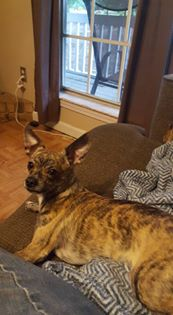 Meet Camo, 1 yr old brindle Chi. Camo belongs to Sherri Burleson