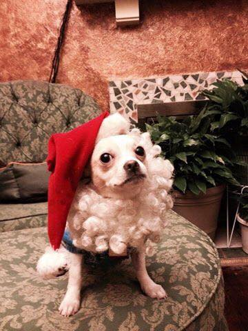 Chaco in his Santa Suit, he belongs to Laurie Moore