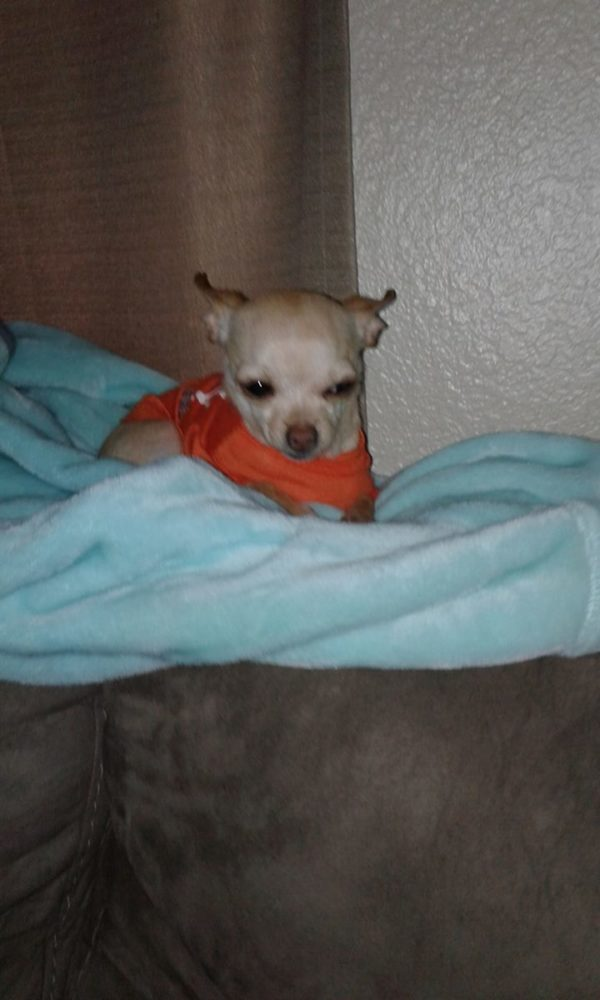 This adorable little pup is Chole Princess Wood and she belongs to Cristina Wood. This is what she told us:Here my baby girl Chloe Princess Wood my toy Chihuahua and she loves her family and she likes to watch her Beverly Hills Chihuahua that's her favori