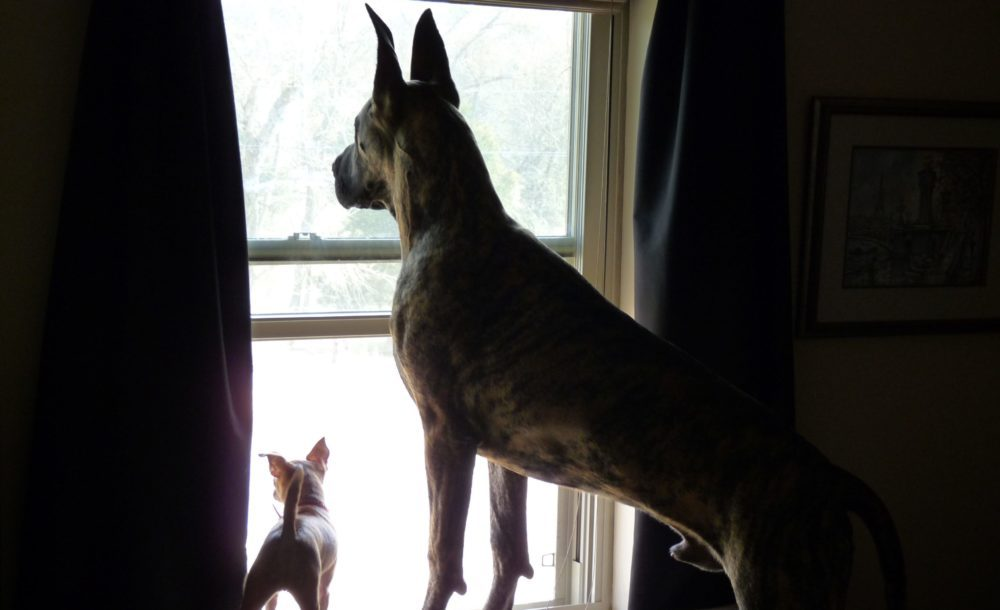 This is Costello and Tia. Costello, the Great Dane belongs to Jeff & Crystal Hempler. Tia, the Chi belongs to Beth Hempler