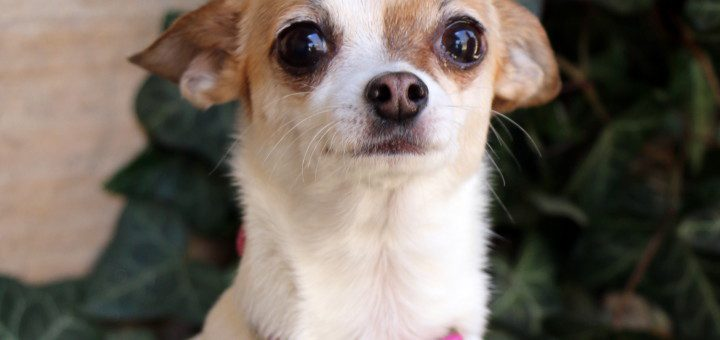 Fawn and white chihuahua with pink collar