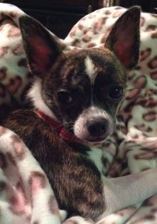This is Macy Mae and she belongs to Kimberly Ellifrits Spurgeon. Macy is a Beautiful Brindle Chi
