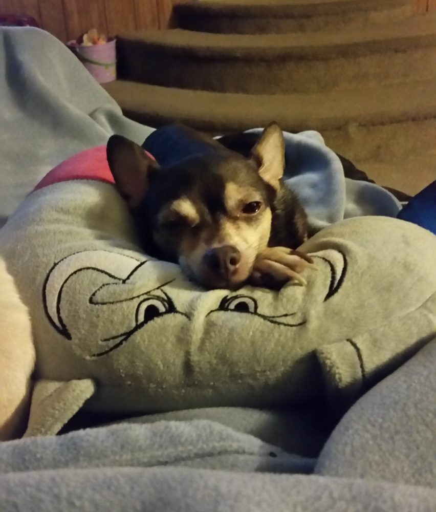 """Meet Reese Ann who belongs to Noelle Page """"Reese came into my life 6 years ago as a pup. She was my first Chi (I know have 3). There is no way to describe how sweet, loving, cute she is. She loves when I come home from work. She knows"""