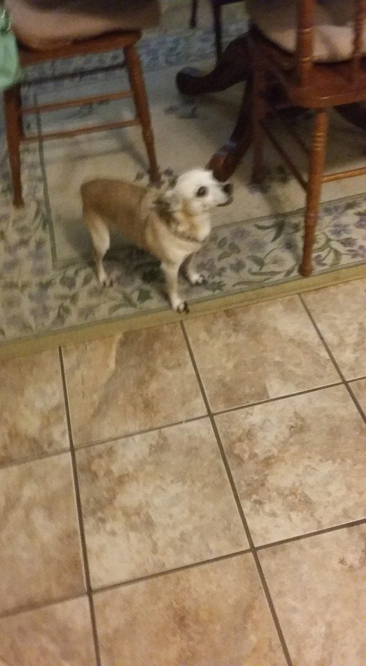 "This is Tigger, Tigger belongs to Kathy Rodgers. ""This is Tigger my 16 yr old chihuahua. We live in Clinton Ms. He's my little man and he is spoiled. I love him so much."""