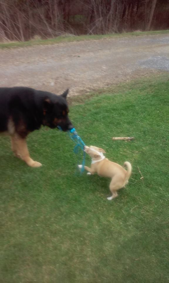 Biddy playing with her brother, Hunter. They both belong to Vicki Porter-Hartley