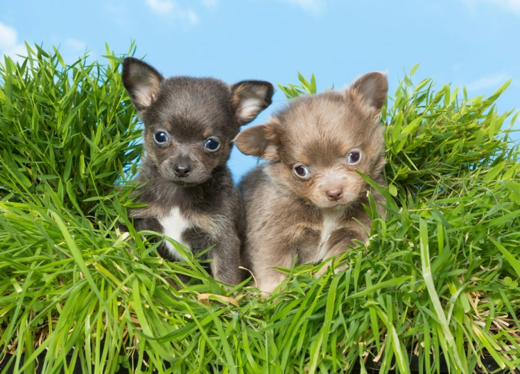 black and fawn Chihuahua puppies with background of tall grass