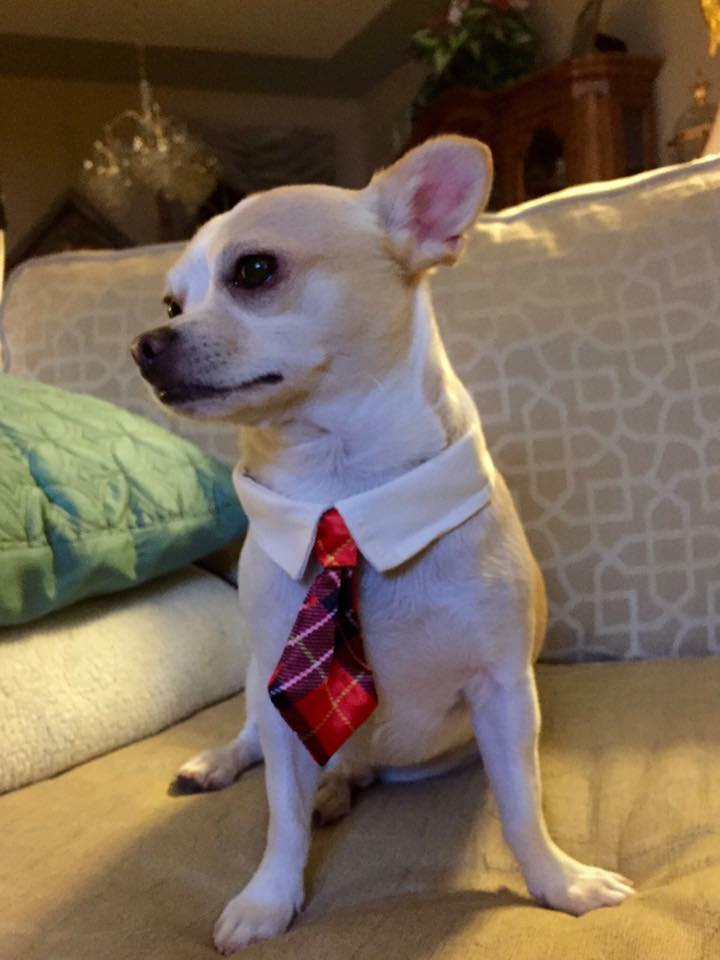 Chaco looks very handsome in his collar and tie, he belongs to Laurie Moore