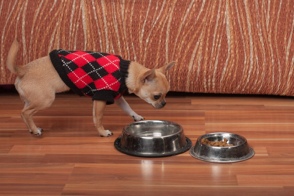 brown short haired chihuahua wearing an argyle sweater approaching food and water bowls with brown background