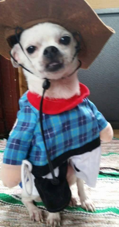 "Meet Cowboy Mickey. He belongs to Michelle Wiltrout. She says:""He is our lil rescue. He was only a pound when we got him. Look at him now. 4 pounds and healthy.  He is very loving and loves to wear clothes. He is a cowboy here."""