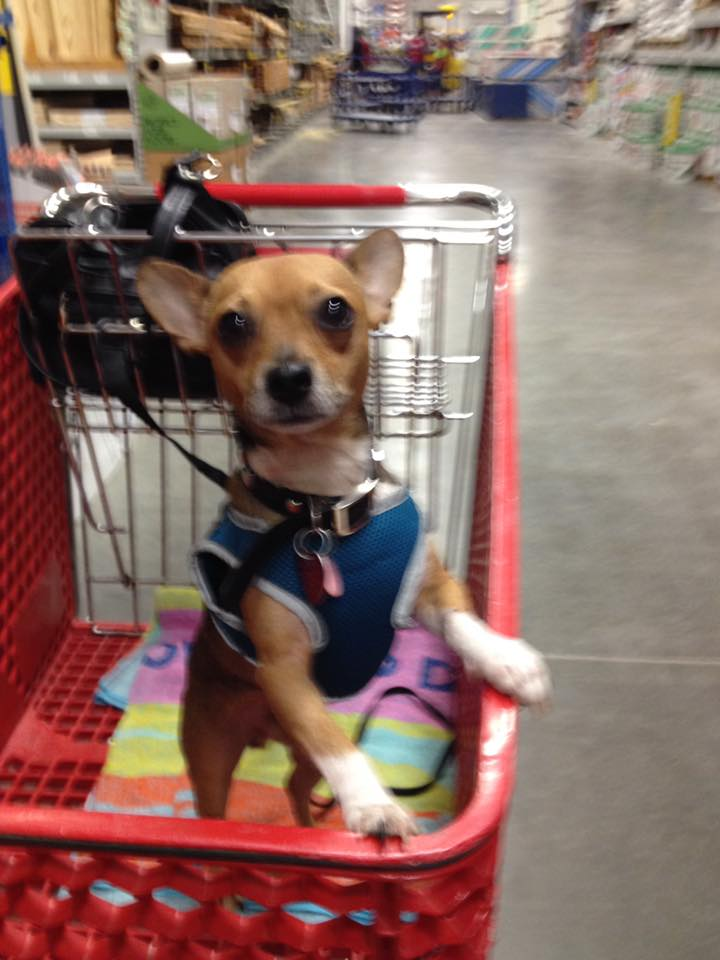 "This little cutie belongs to Bertha Maples, and she tells us, ""Here is my chihuahua. I adopted him at 4 years old from a shelter this past May. He is so special to me because I have retired and I love his company. This is his 1st trip to Lowes."""
