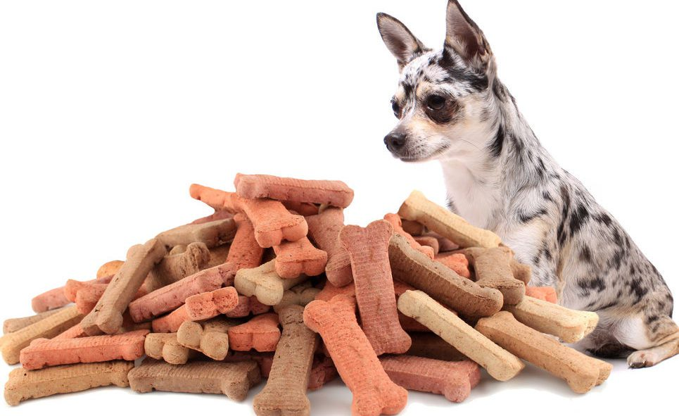 shutterstock_merle-chi-staring-at-large-pile-of-treats-96793885