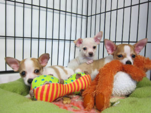 three chihuahua puppies in a crate