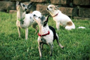 three short haired chihuahuas standing together in grass all looking at something