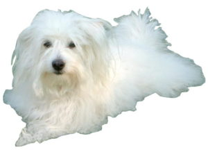 a picture of an all white Coton De Tulear dog