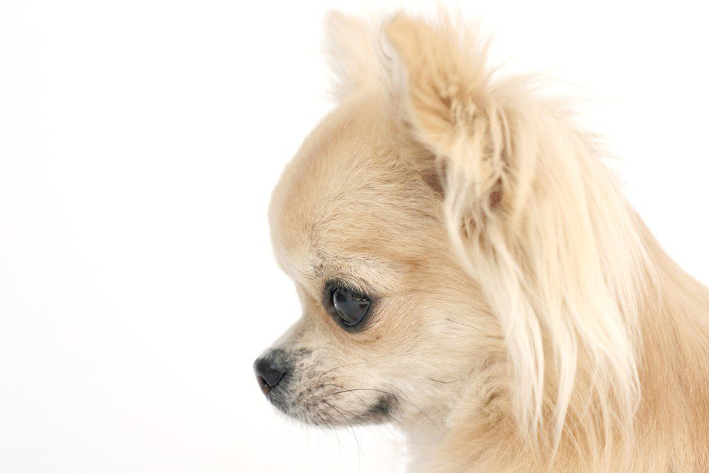 fawn colored apple head chihuahua on white background