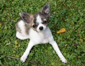 a picture of a blue chihuahua laying on the grass with front legs spread apart, looking at the camera