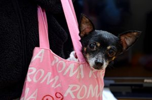 black and white chihuahua in a pink bag