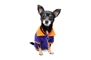 black chihuahua in purple and yellow coat with white background