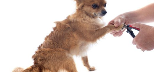 a picture of a fawn colored chihuahua getting nails trimed. you only see the hands of the person and the clippers