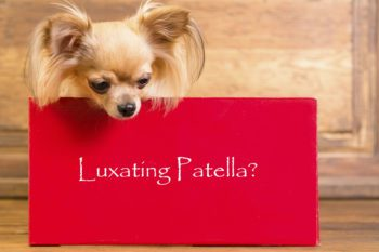 picture of a long haired chichihua behind a sign that says: luxating patella?