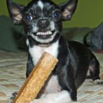 a picture of a black and white chihuahua holding a bone in his paw, snarling at the camera