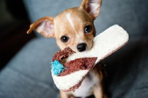 chihuahua-with-flip-flop