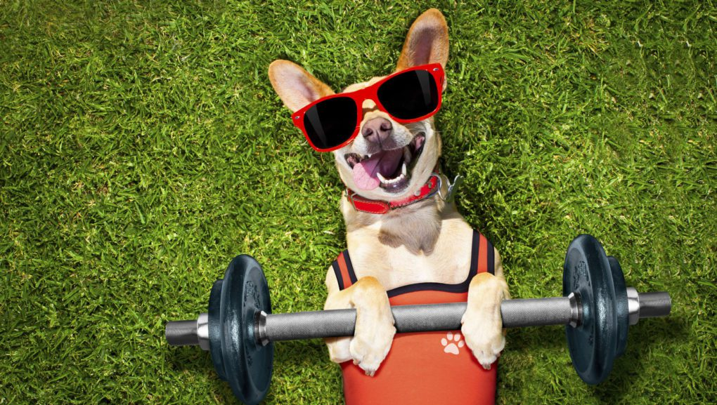 chihuahua with sunglasses on laying on back in green grass with barbells