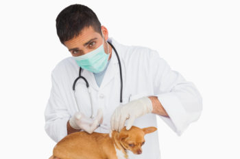 chihuahua at vet with white background