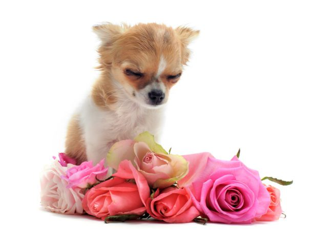 sad chihuahua, eyes closed with a wreath of roses in front on white background