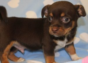Chocolate Chihuahua Puppy - Just cause he's cute!