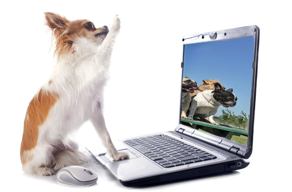 chihuahua at a laptop computer with right front paw up as if giving a high five on white background and a photo of a dog on the computer