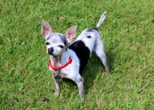 chihuahua, black and white standing in grass looking at camera