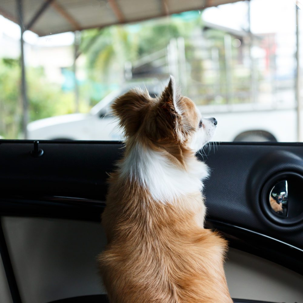 brown and whit chihuahua in car looking out the front window