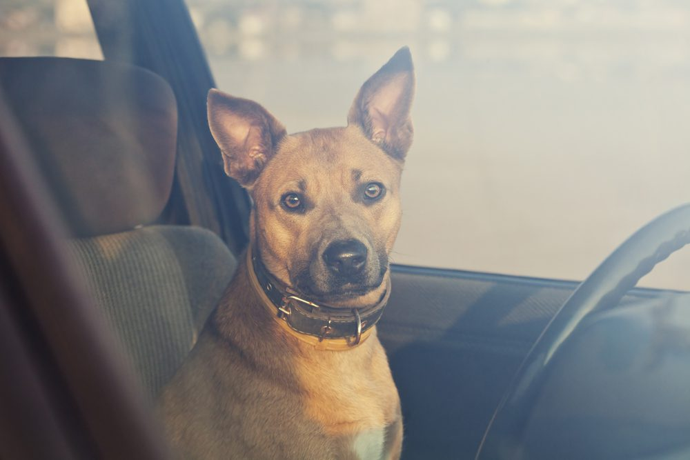 brown dog in a car with blurred background and window up
