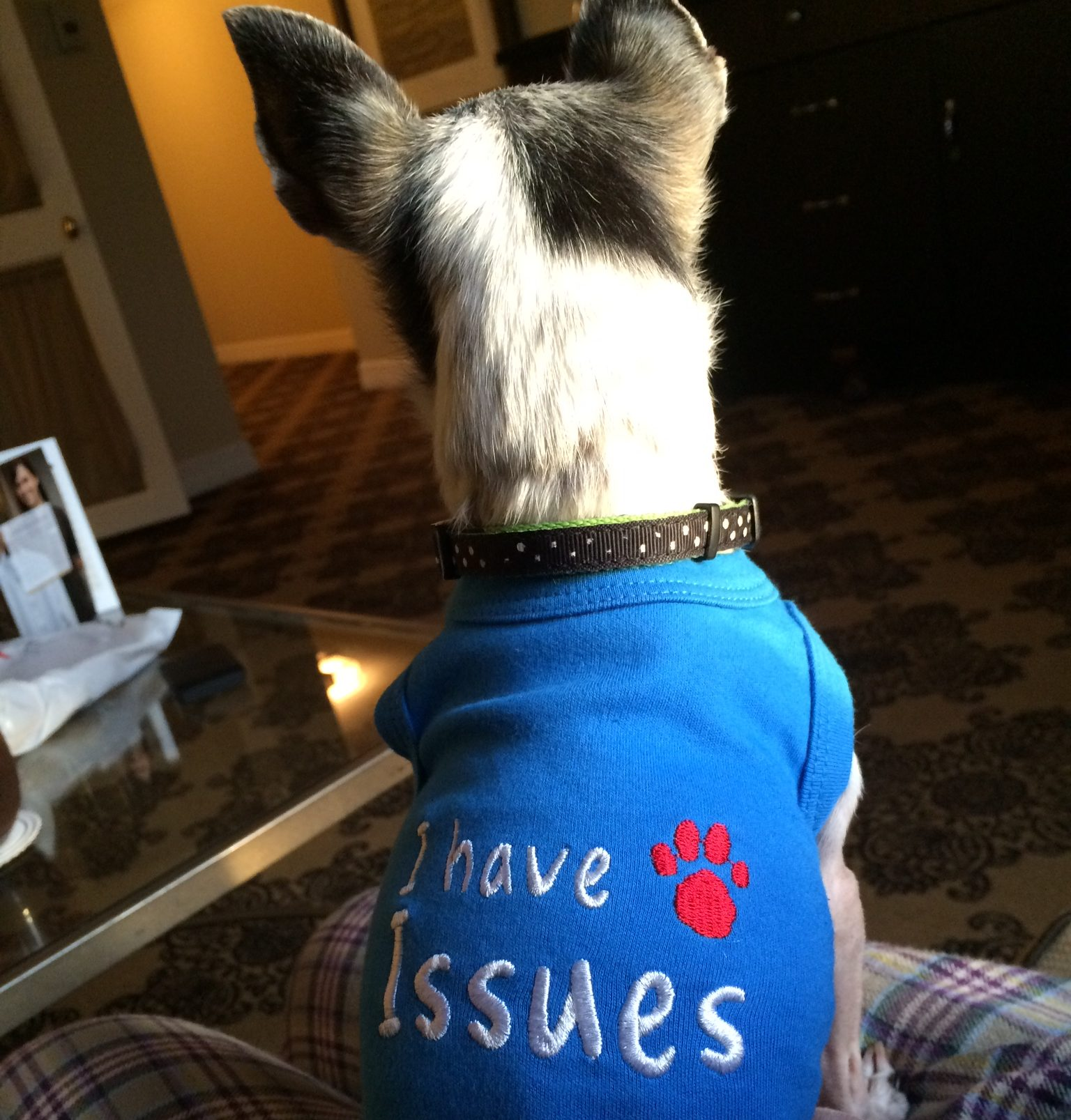 """black and white chihuahua with back to camera wearing a blue shirt that says, """"I have issues"""""""