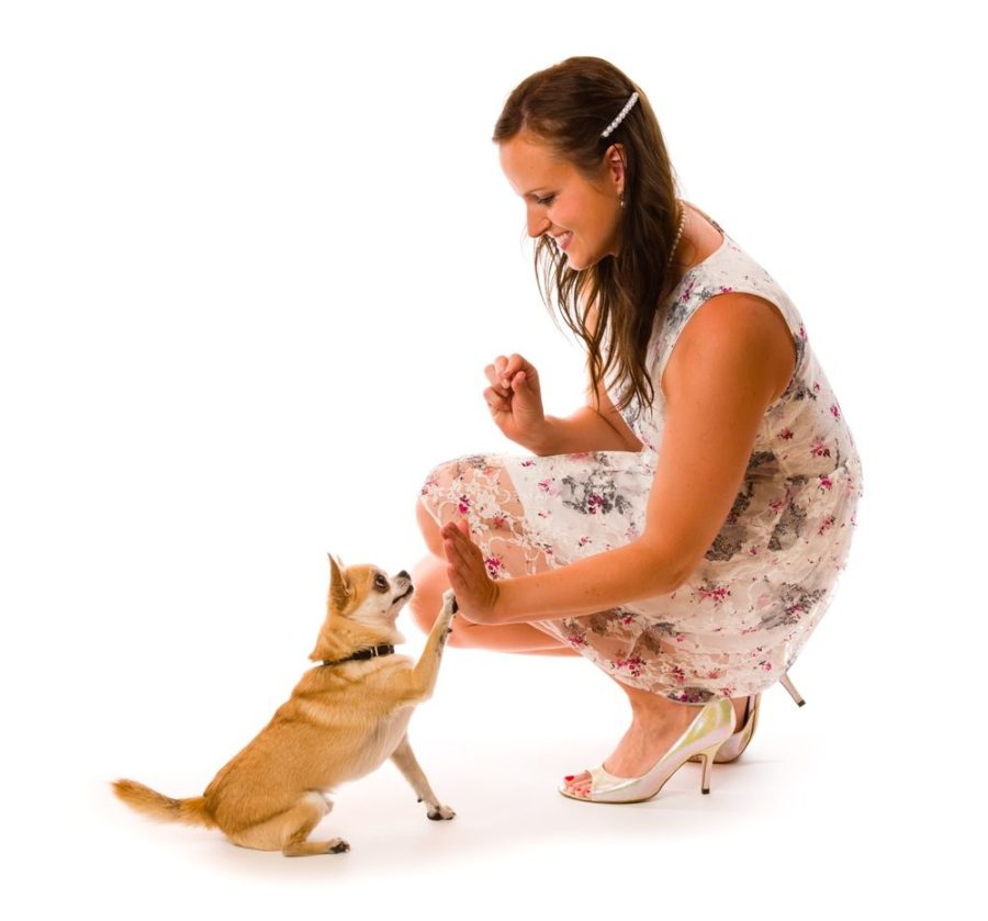 a pretty girl in a dress squatting down and performing a high-five with a tan smooth coated chihuahua