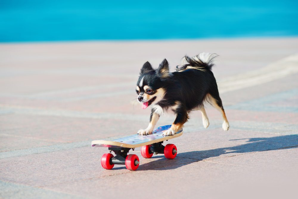 a black and tan long haired Chihuahua riding a skate board with beach background