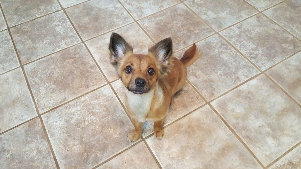 long haired chihuahua with black ear tips sitting on a tile floor looking up