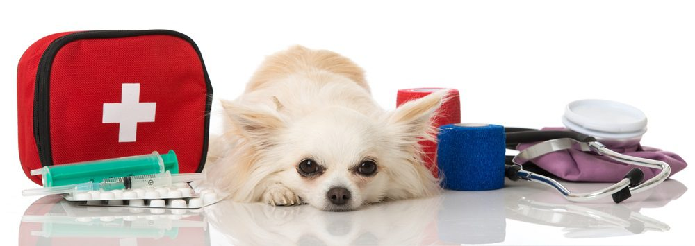 should i take my dog to the vet, fawn colored long-haired chihuahua lying down surrounded by medical things on white background