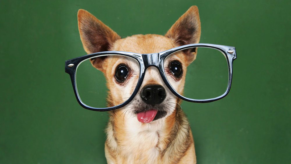 brown chihuahua with glasses that are too big on with a green backgound