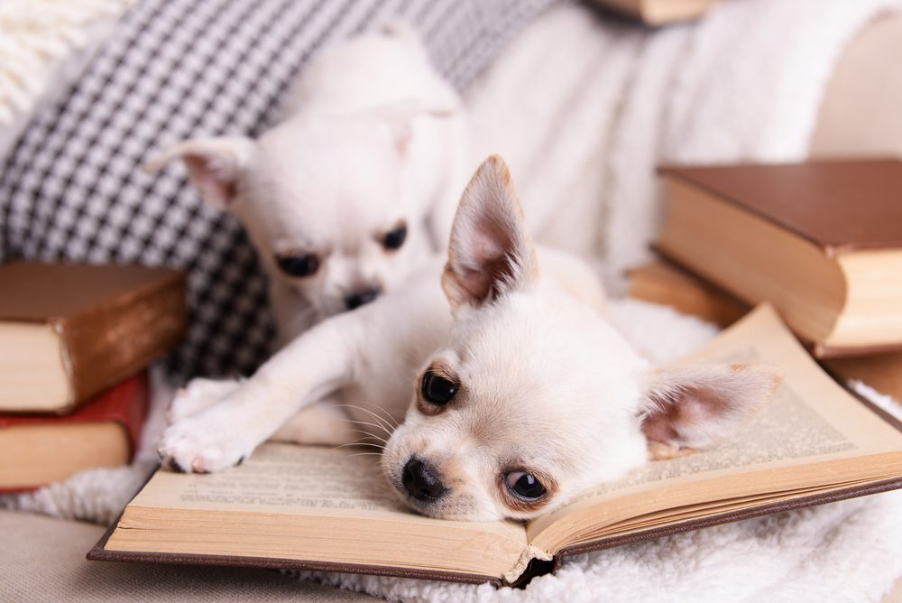 two white chihuahua puppies one laying on an open book with muted background