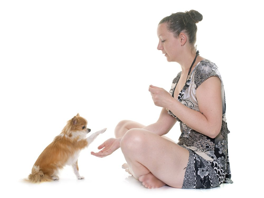 woman with treat and chihuahua putting paw in her hand on white background