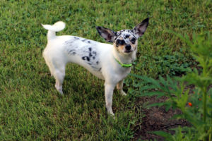 a blue merle Chihuahua standing in grass looking at the camera